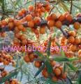 Sea Buckthorn Powder, Extract, Concentrate, Juice Powder, Fruit Powder, Juice, Capsules, Fruit Oil